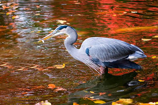 great blue heron enjoying a fish meal - vogel herfst stockfoto's en -beelden