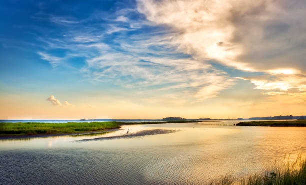 büyük mavi balıkçıl altın chesapeake körfezi günbatımı keyfi - balıkçıl stok fotoğraflar ve resimler