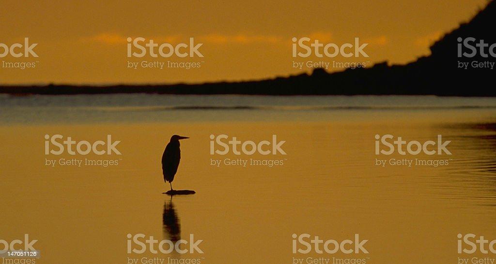 Great Blue Heron fishing at sunrise stock photo