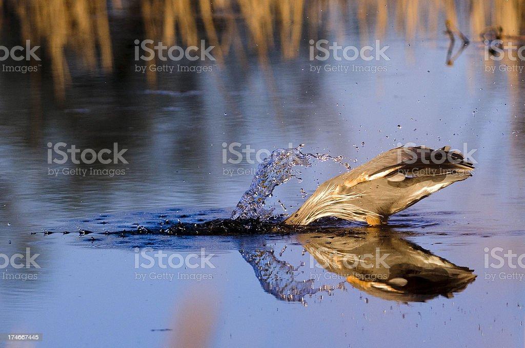 Great Blue Heron (Ardea herodias) Fishing in the Wetlands royalty-free stock photo