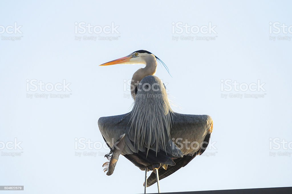 Great Blue Heron Flashes on Hot Day stock photo