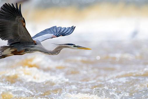 Great Blue Heron Flight, Room in front of the bird