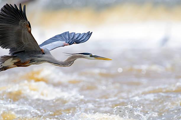 great blue heron flight, room - balıkçıl stok fotoğraflar ve resimler