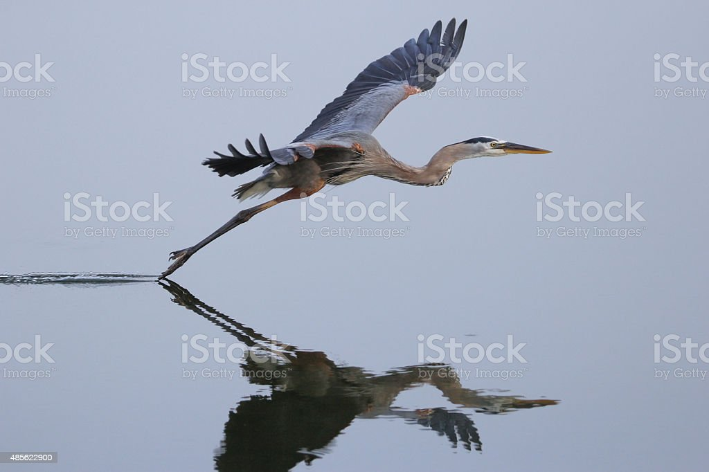 Great blue heron flying above the water stock photo