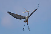 Great Blue Heron nest building by gathering sticks