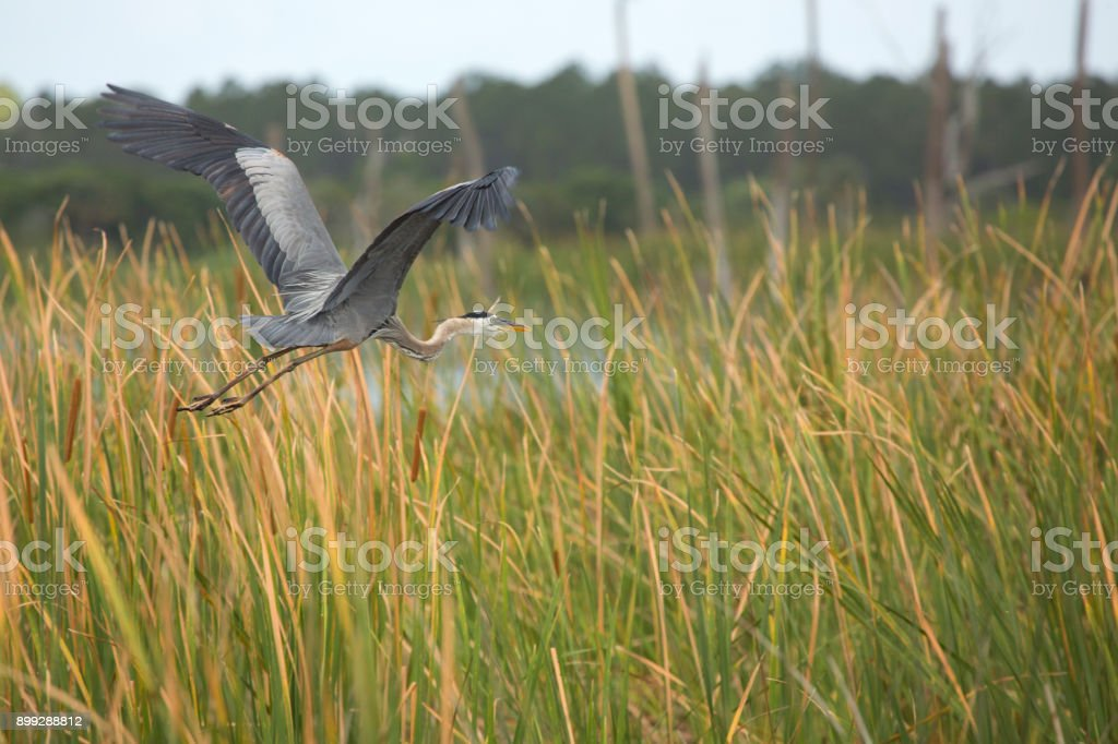 Great blue heron flying over cattails in a Florida swamp. stock photo