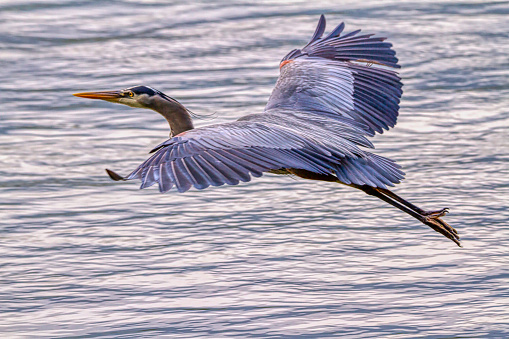 great blue heron flying over sea inlet, Vancouver, BC, Canada