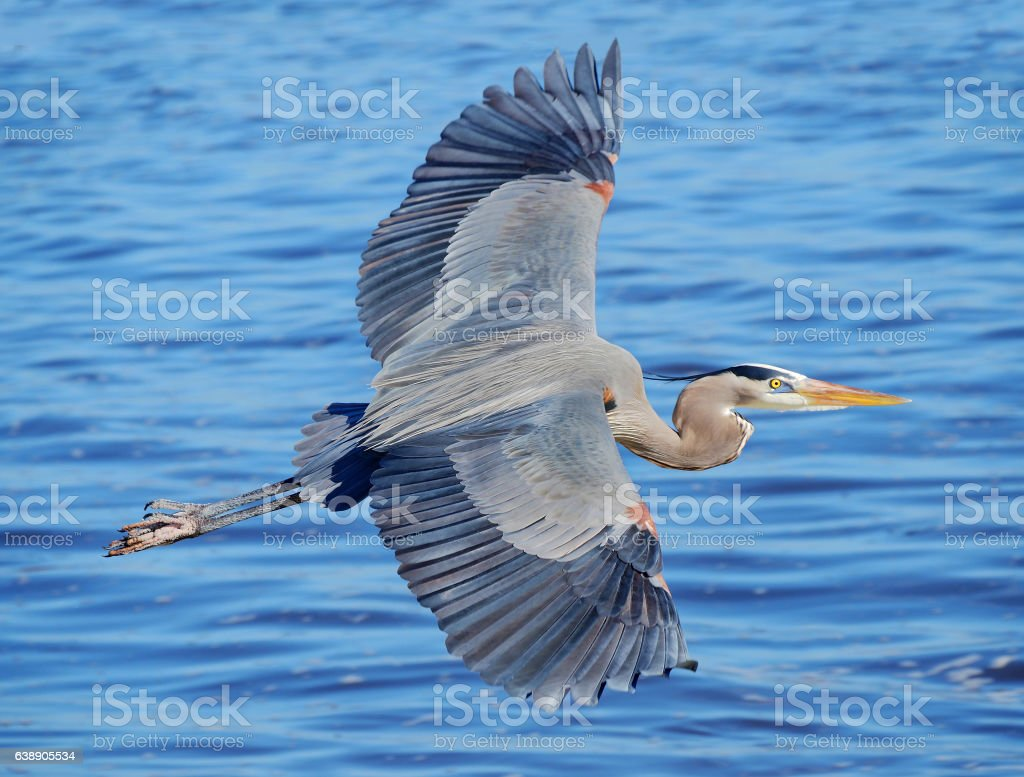 Great Blue Heron Flying Over the Ocean stock photo