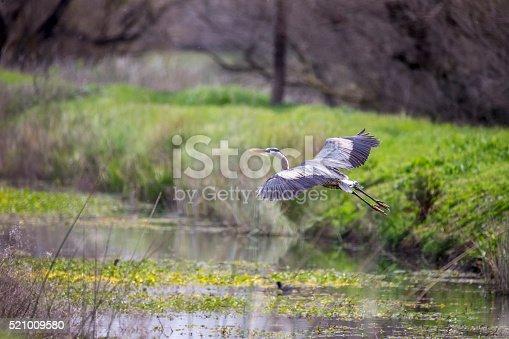 Great Blue Heron at Merced Wildlife Refuge.