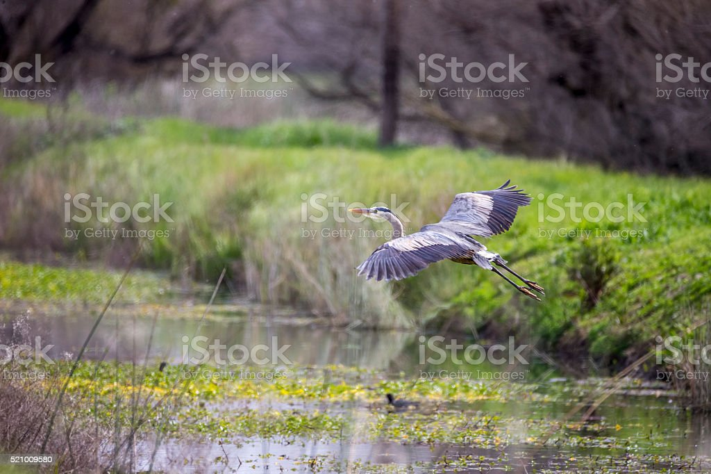 Great Blue Heron Flying stock photo