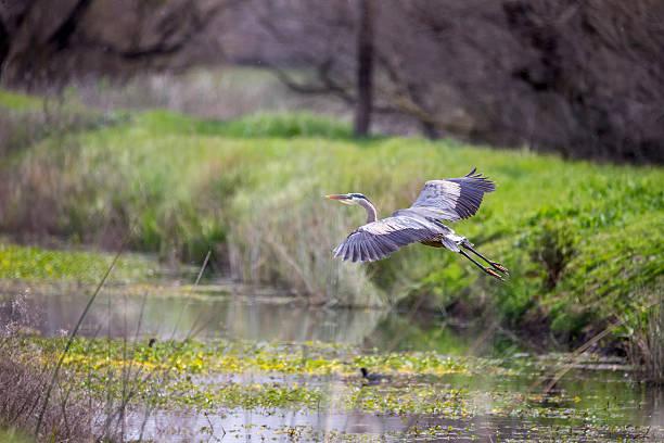 great blue heron flying - balıkçıl stok fotoğraflar ve resimler
