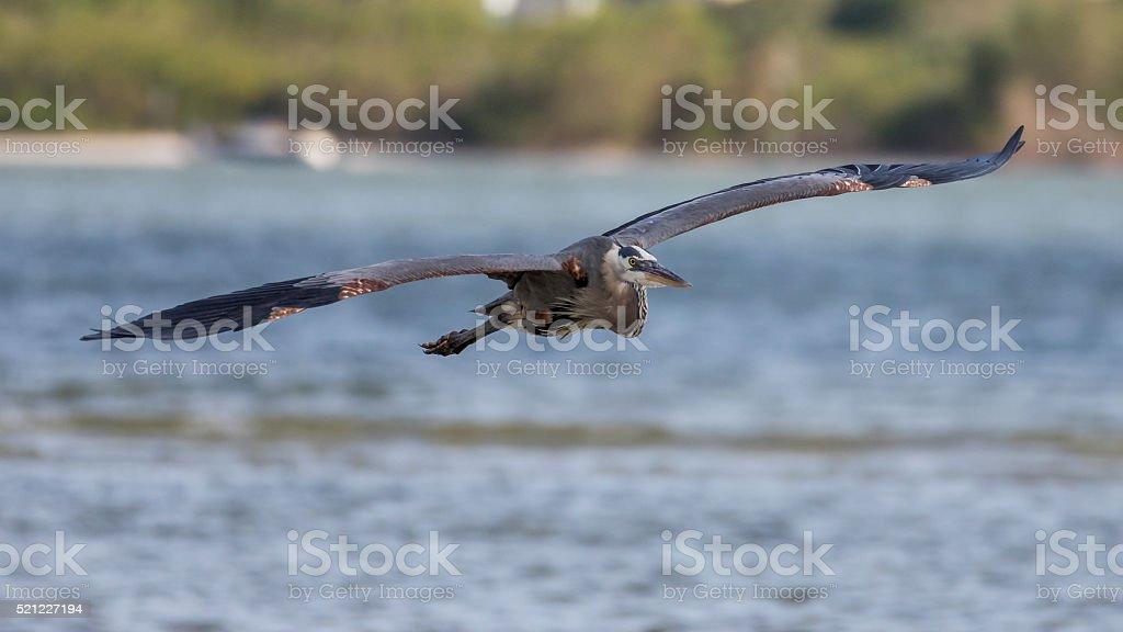 Great Blue Heron Flying, San Carlos Bay, Bunche Beach Preserve stock photo