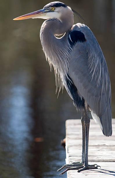 Great Blue Heron - full body stock photo