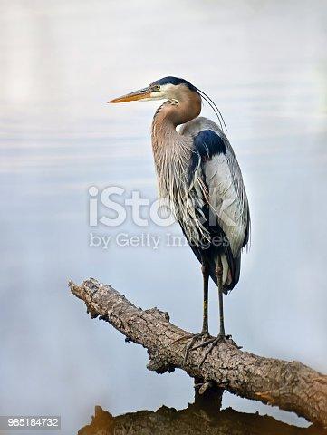 Closeup of a Great Blue Heron standing majestically on a log in the water gazing out over the Chesapeake bay in Maryland