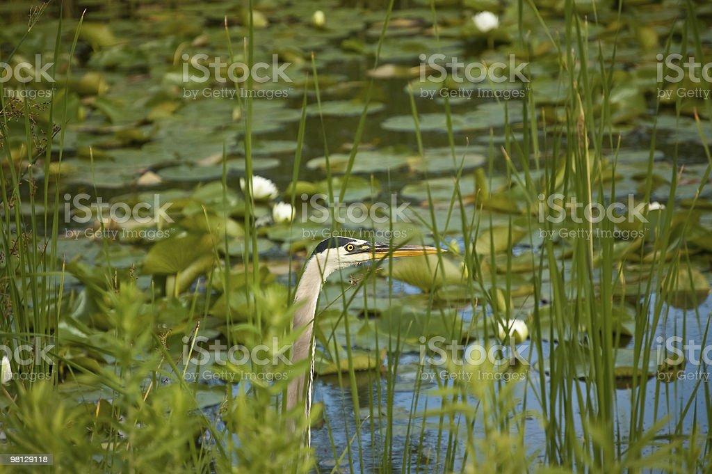 큰왜가리 숨음 만들진 잡초를 뽑다 사전충진된 연못 royalty-free 스톡 사진