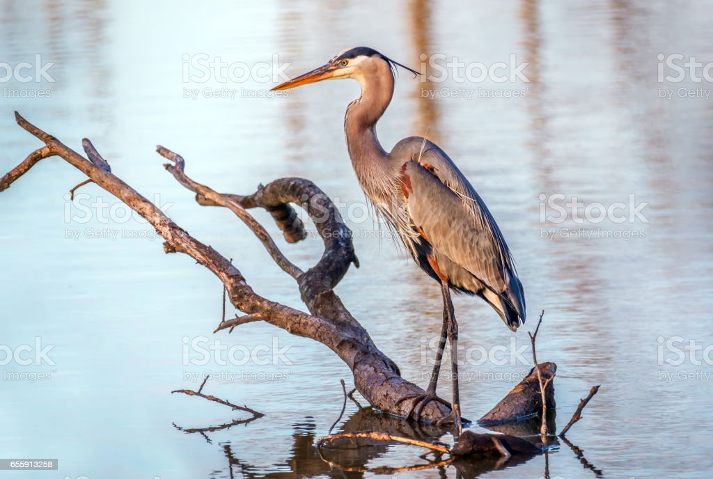 Great Blue Heron in a pond on the Chesapeake Bay in Maryland stock photo