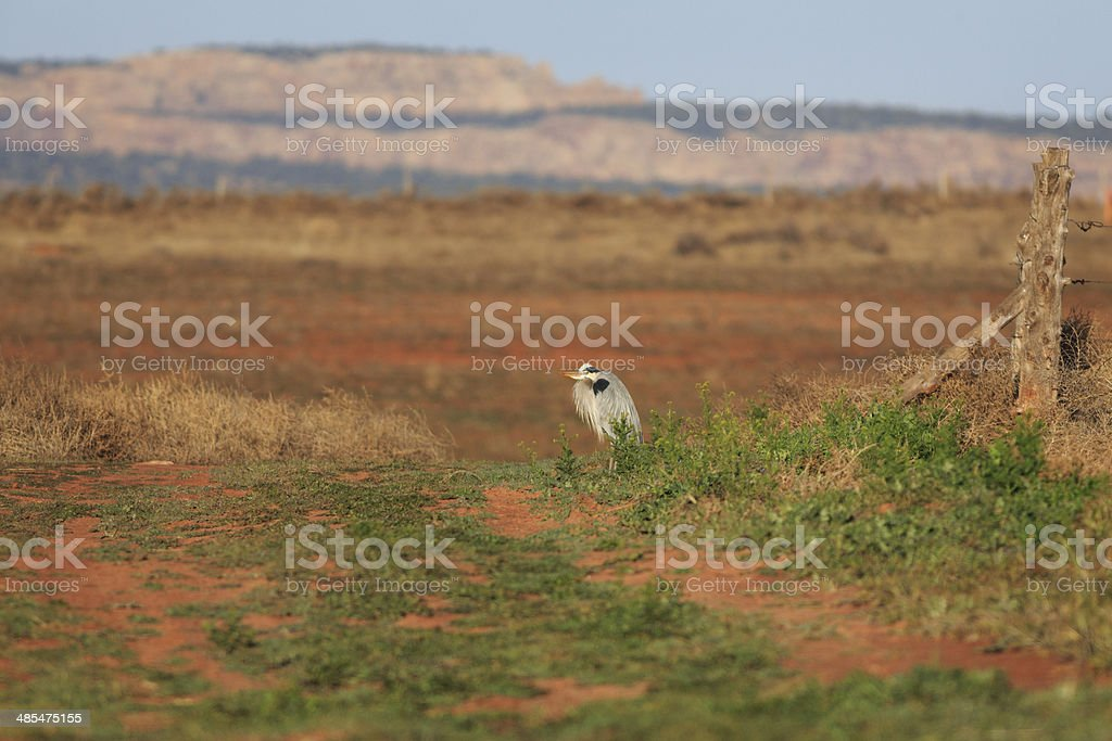 Great Blue Heron in Arizona royalty-free stock photo