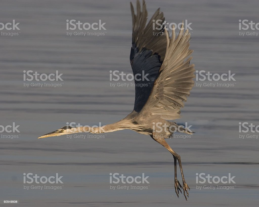 Great Blue Heron In Flight 2 royalty-free stock photo