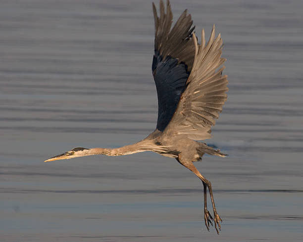 Great Blue Heron In Flight 2 stock photo