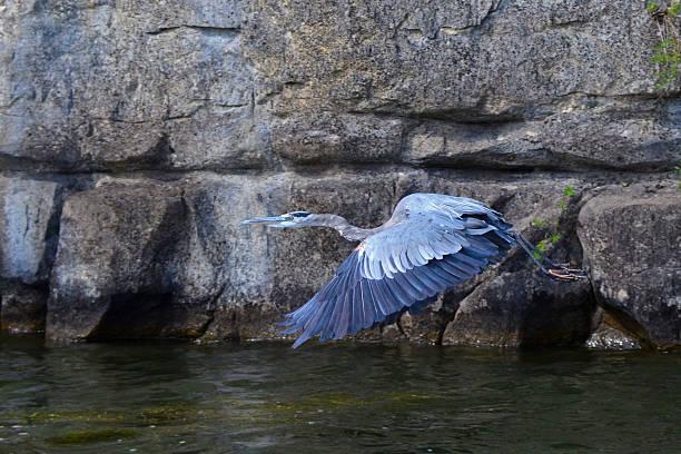 great blue heron im flug, herodias ardea - wilde hilde stock-fotos und bilder