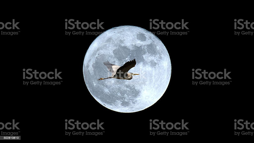 Great Blue Heron in flight over the full moon, horizontal, copy...