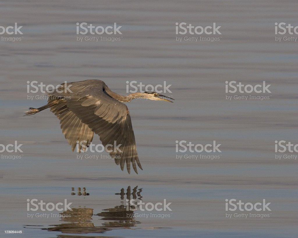 Great Blue Heron In Flight royalty-free stock photo