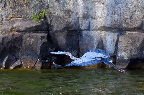 great blue heron im flug - wilde hilde stock-fotos und bilder