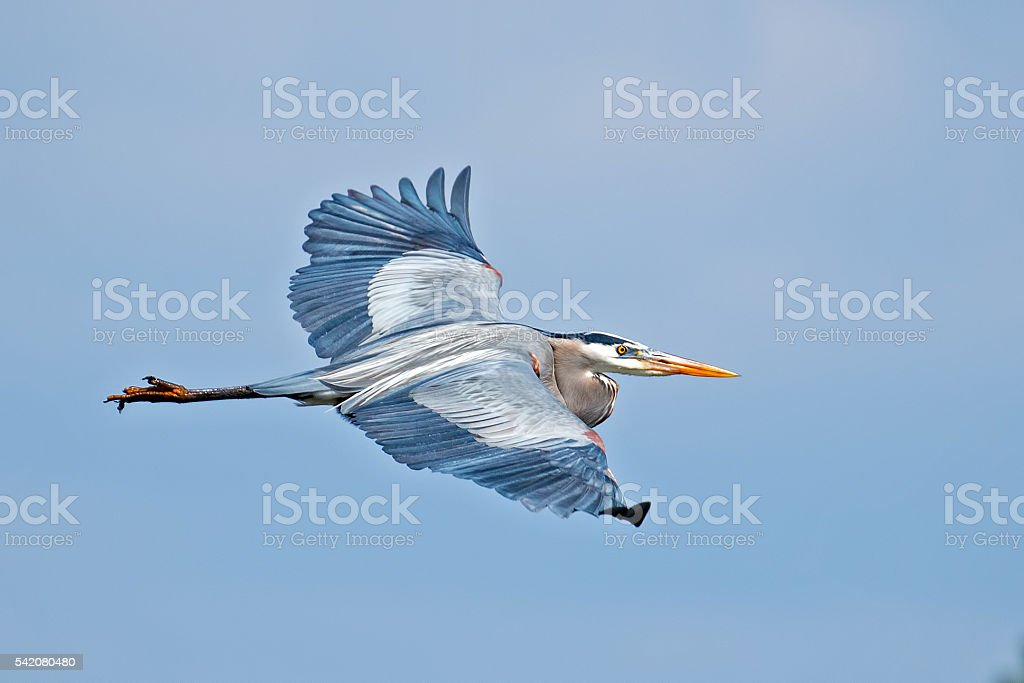 Great Blue Heron in Flight stock photo