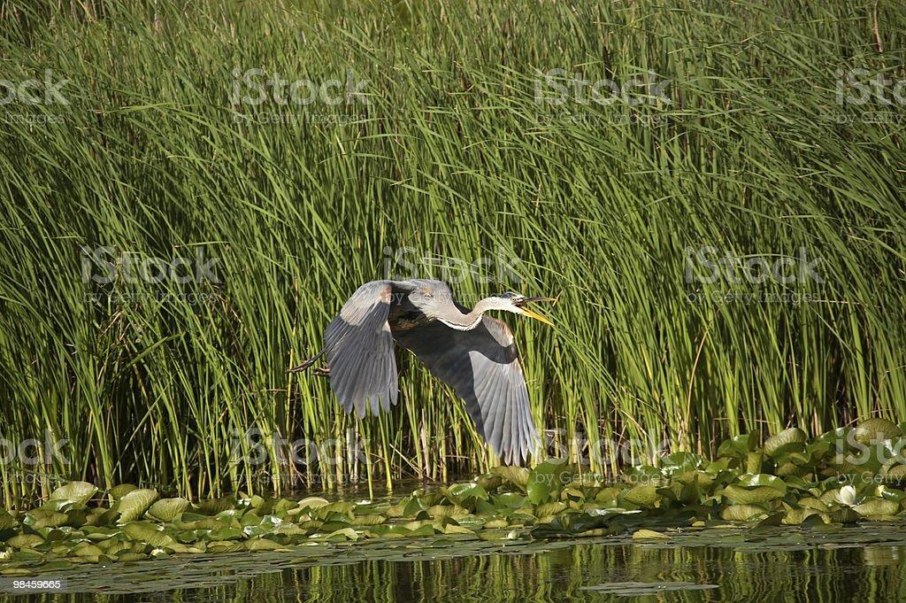 Great Blue Heron in Flight foto stock royalty-free
