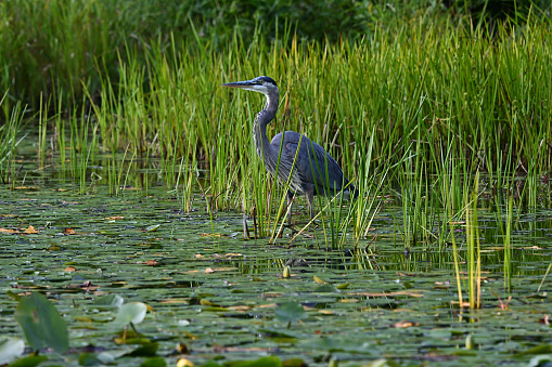 Great blue heron in New England lily pond on a midsummer evening