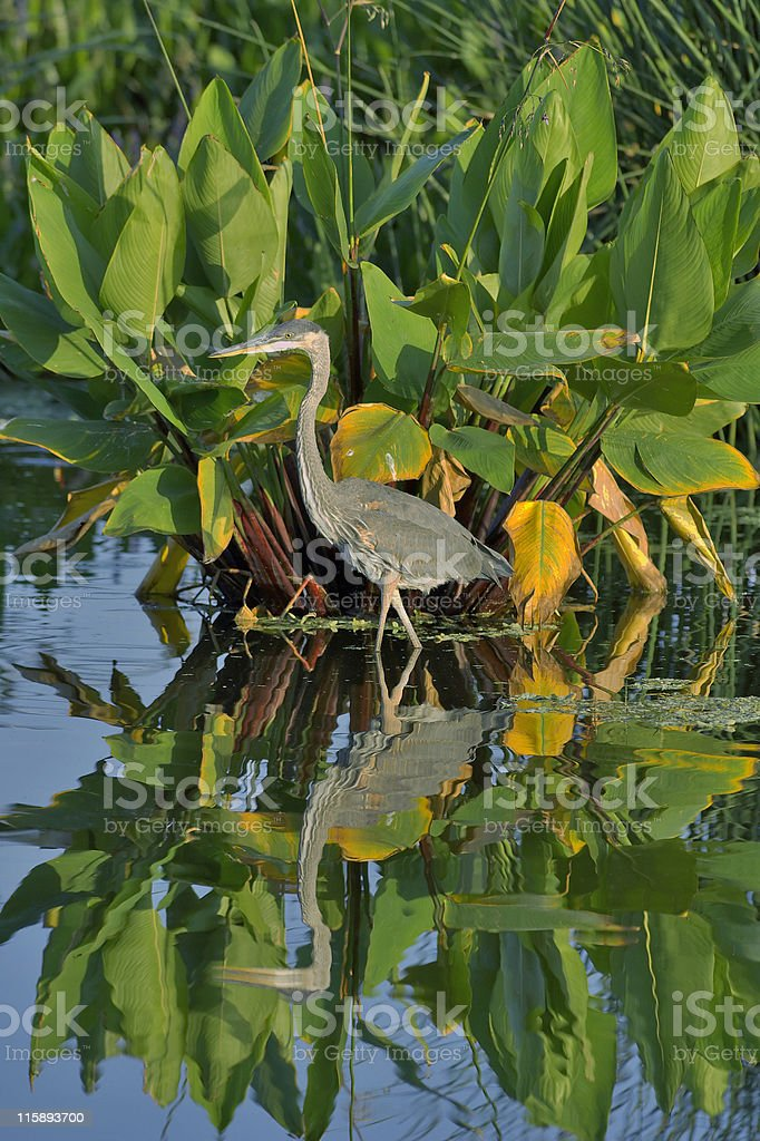 great blue heron in marsh pond stock photo