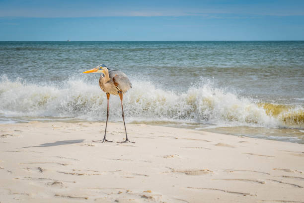 A Great Blue Heron in Perdido Key State Park, Florida stock photo