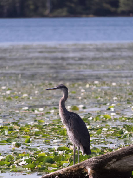 Great blue heron in profile perched on log, surrounded by lily pads stock photo