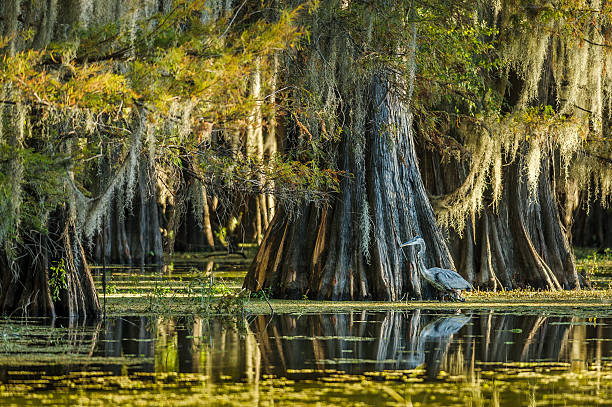 great blue heron in swamp - bald cypress tree stockfoto's en -beelden