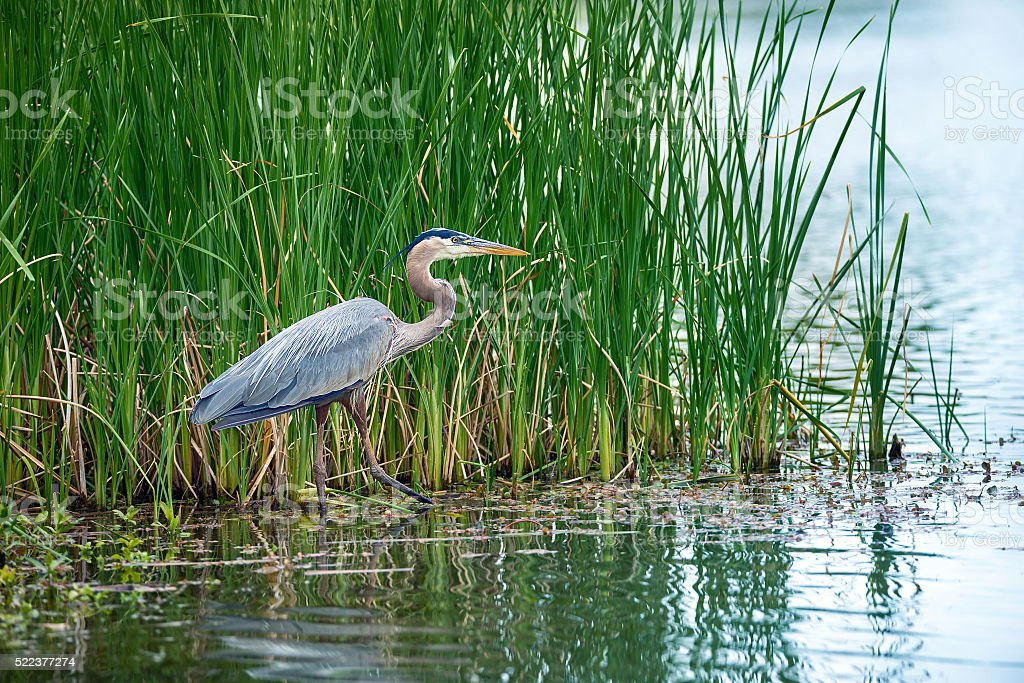 Great Blue Heron (Ardea herodias) in the reeds stock photo