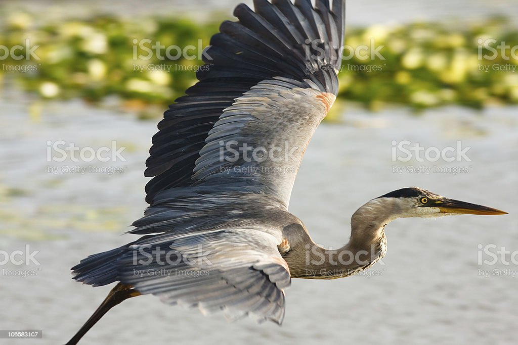 Great Blue Heron in the water stock photo