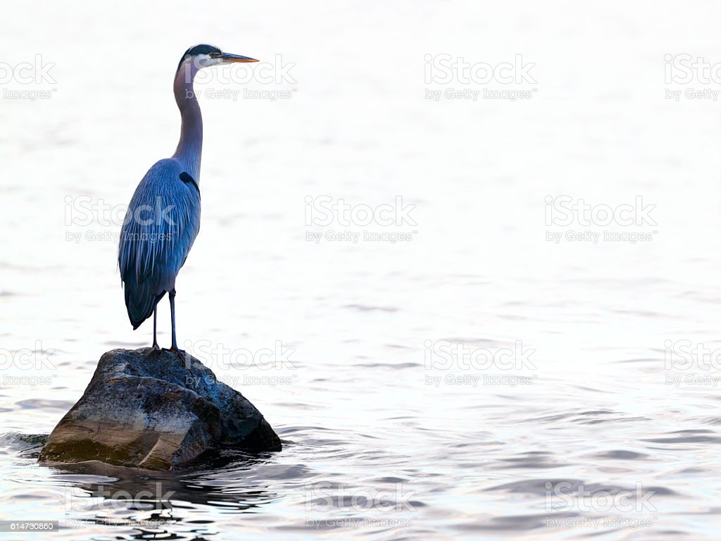 Great blue heron (Ardea herodias) in Washington Lake stock photo