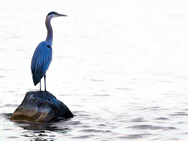 great blue heron (ardea herodias) in washington lake - balıkçıl stok fotoğraflar ve resimler
