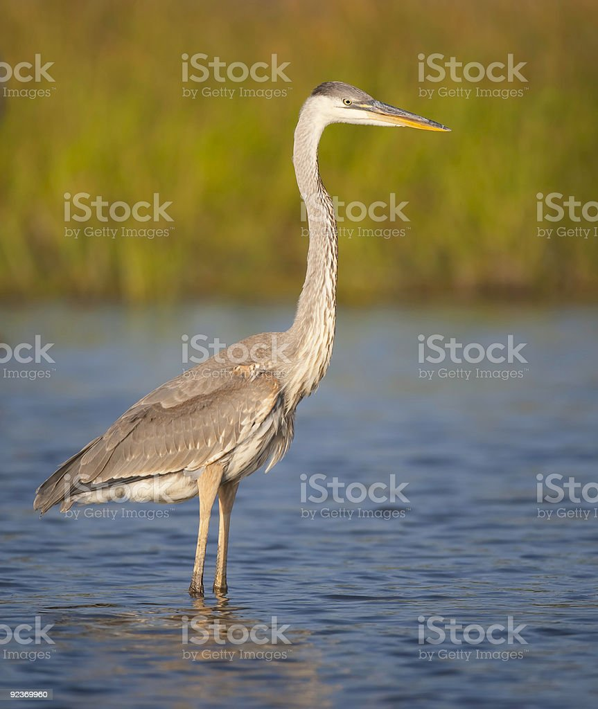 Great Blue Heron in water at dusk royalty-free stock photo