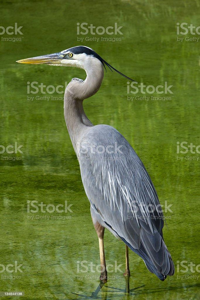 Great Blue Heron in Wetlands stock photo