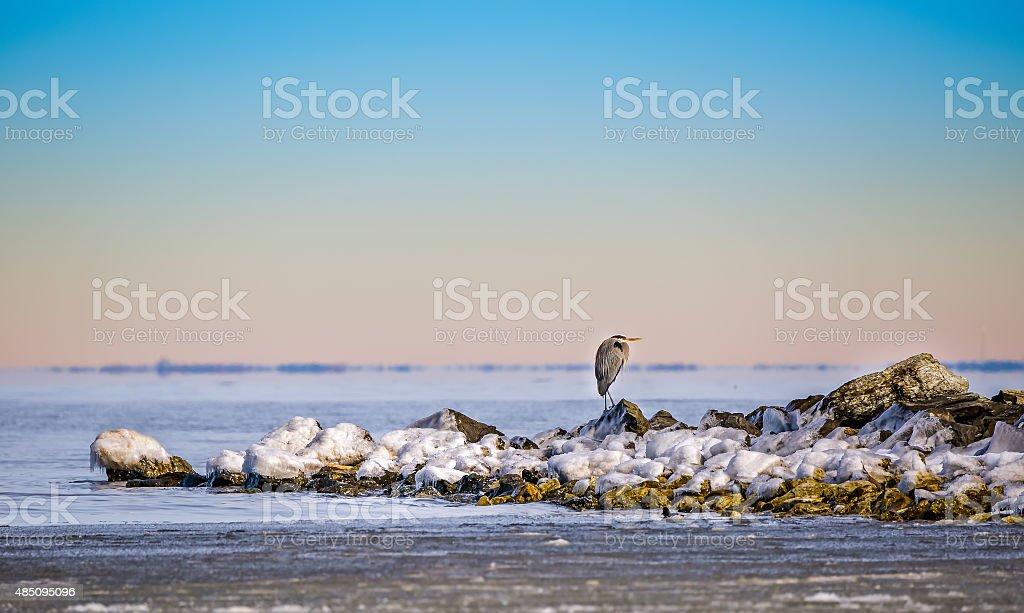 Great Blue Heron in Winter stock photo