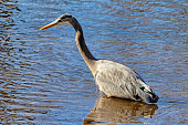 Great Blue Heron looking for fish in Stanley Park, Vancouver, Canada