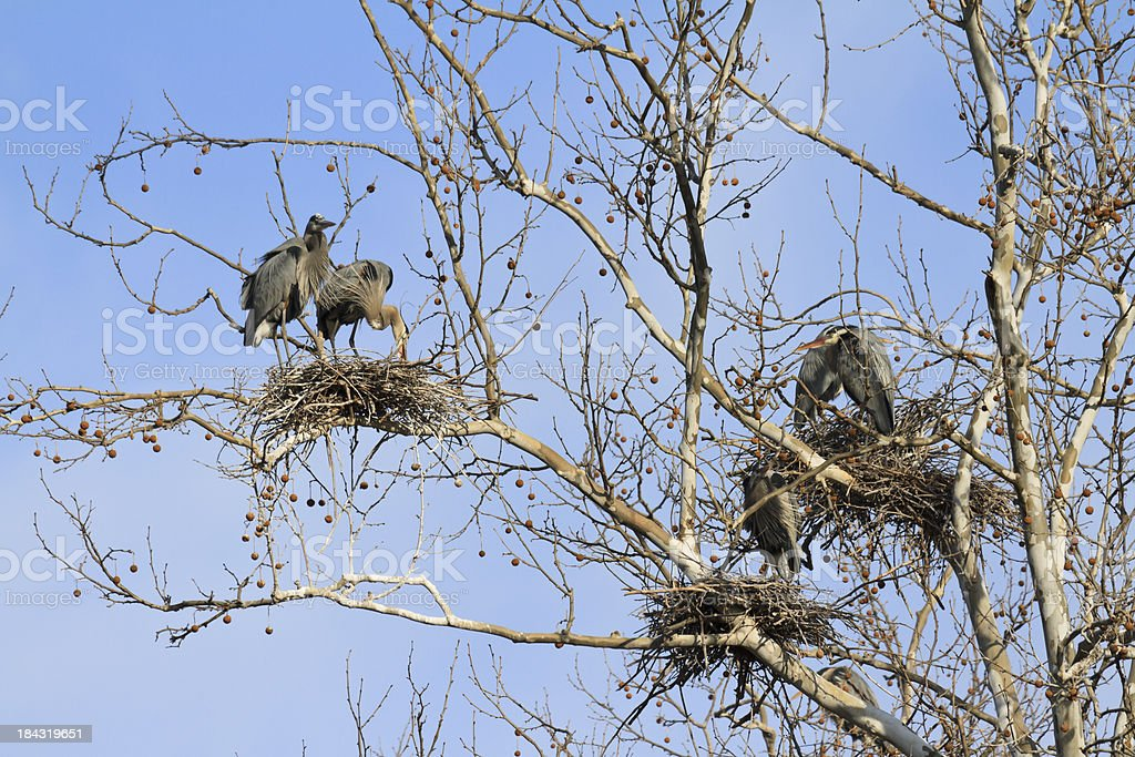 Great Blue Heron Nest Building royalty-free stock photo