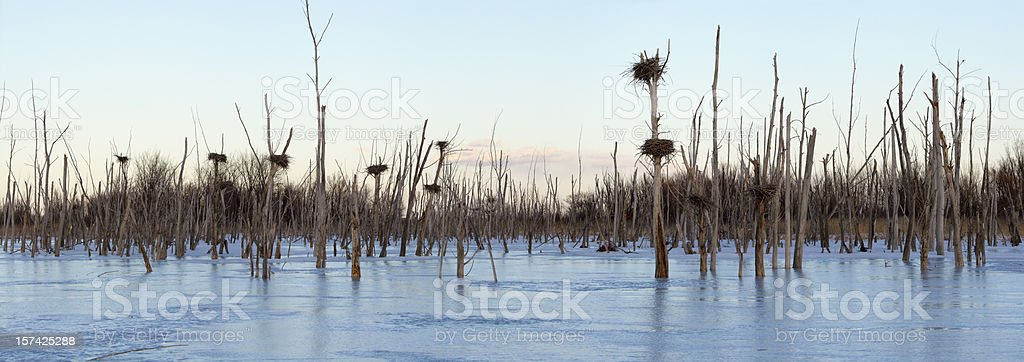 Great Blue Heron Nests in Winter stock photo