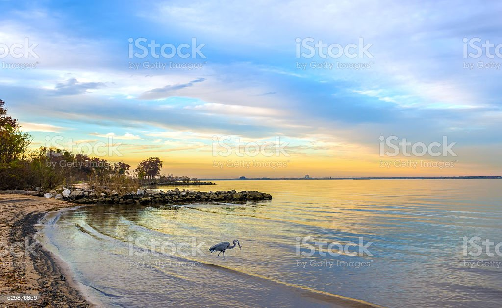 Great Blue Heron on a Chesapeake Bay beach at sunset stock photo