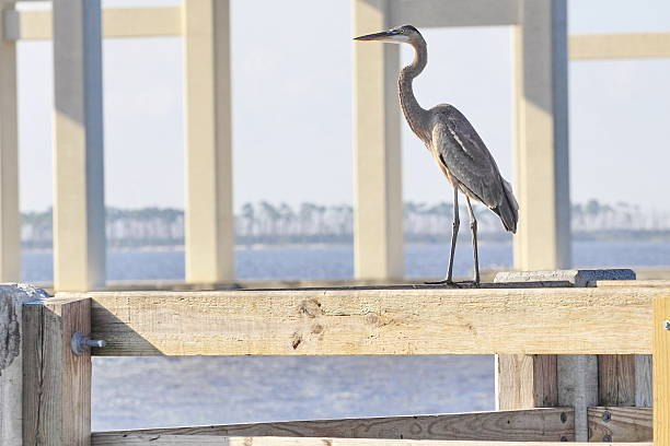 Great Blue Heron on a Fishing Pier stock photo