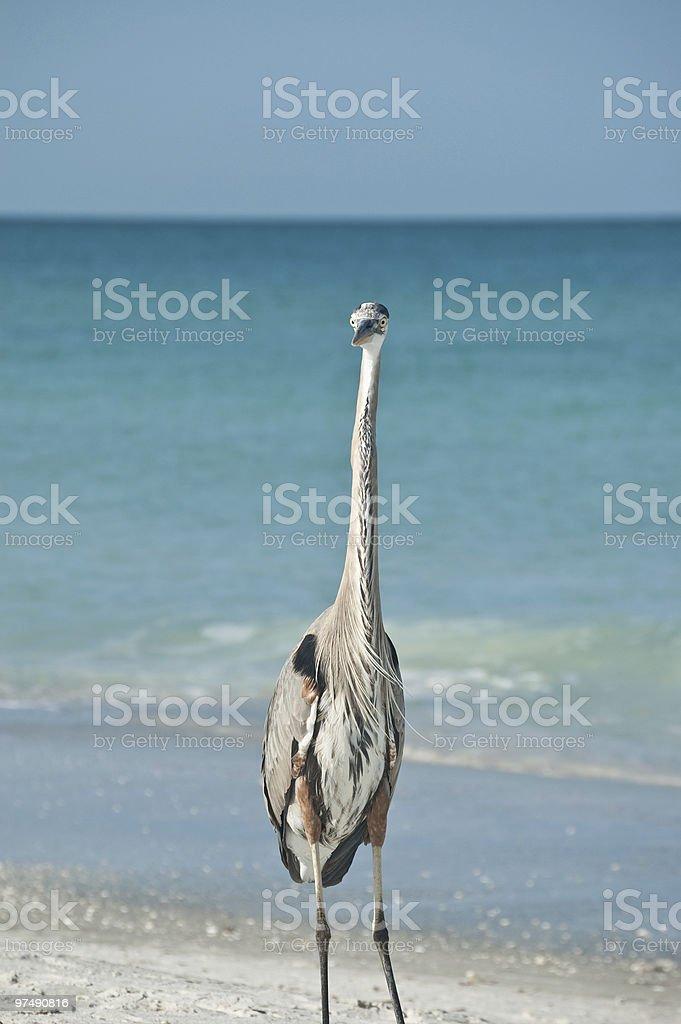 Great Blue Heron on a Florida Beach royalty-free stock photo