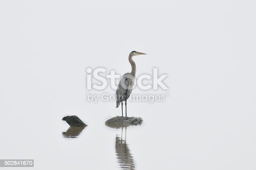 istock Great Blue Heron On A Rock 502841670