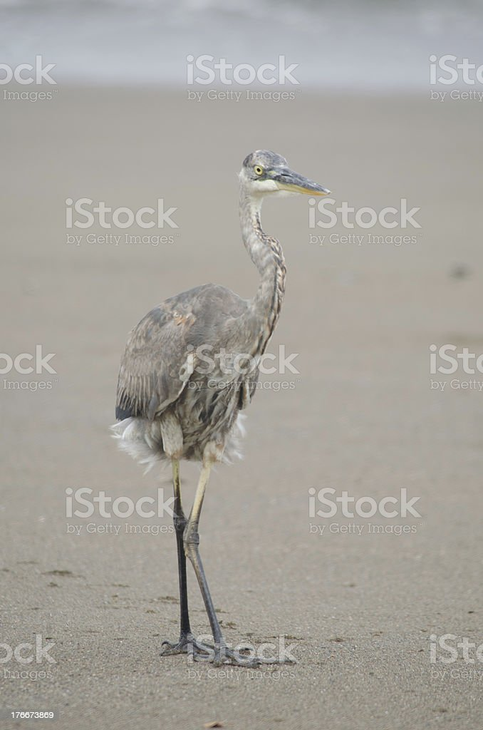 Great Blue Heron On Beach royalty-free stock photo