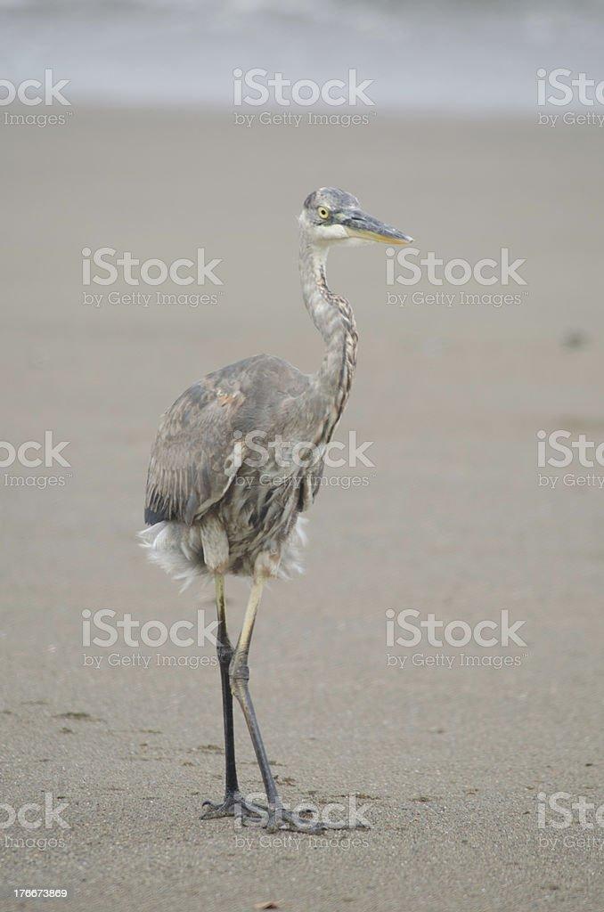 Gran garza azul en la playa foto de stock libre de derechos